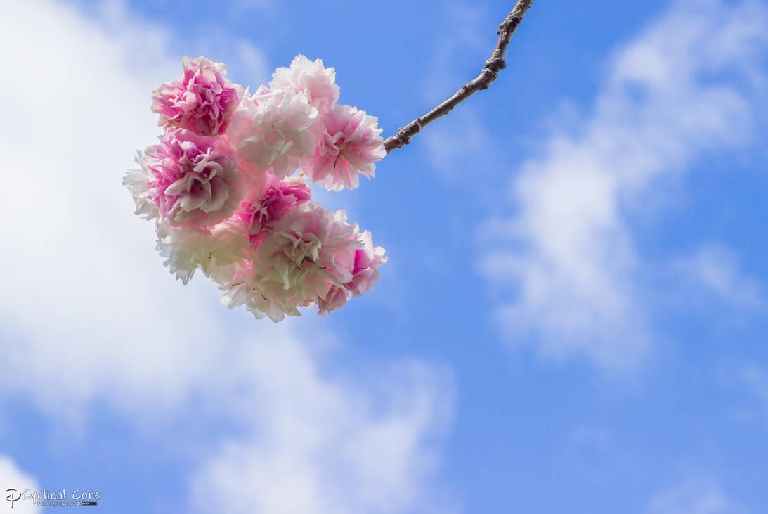 blossom_by_cyclicalcore_d6drdd4-pre.jpg?