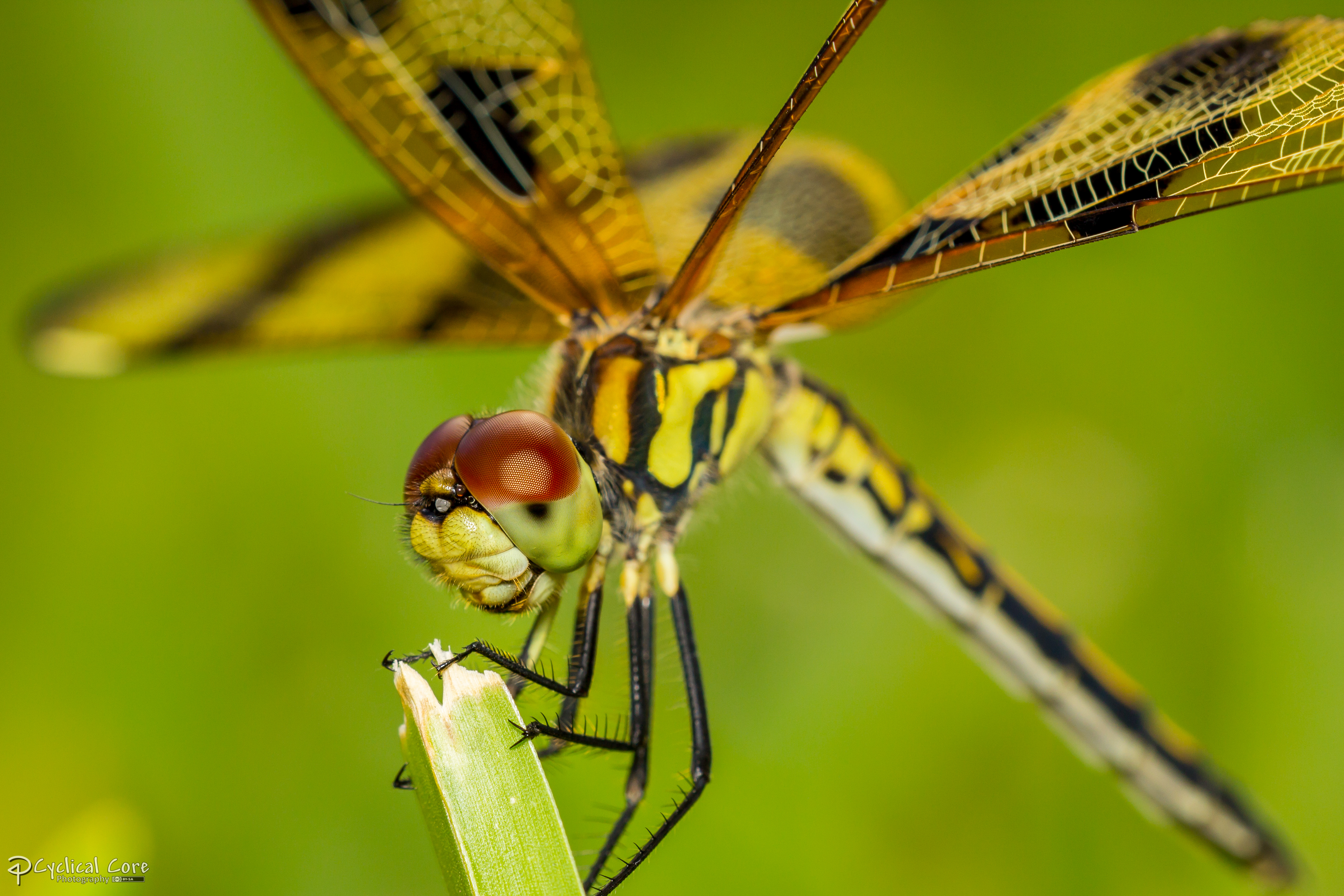Dragonfly macro cros