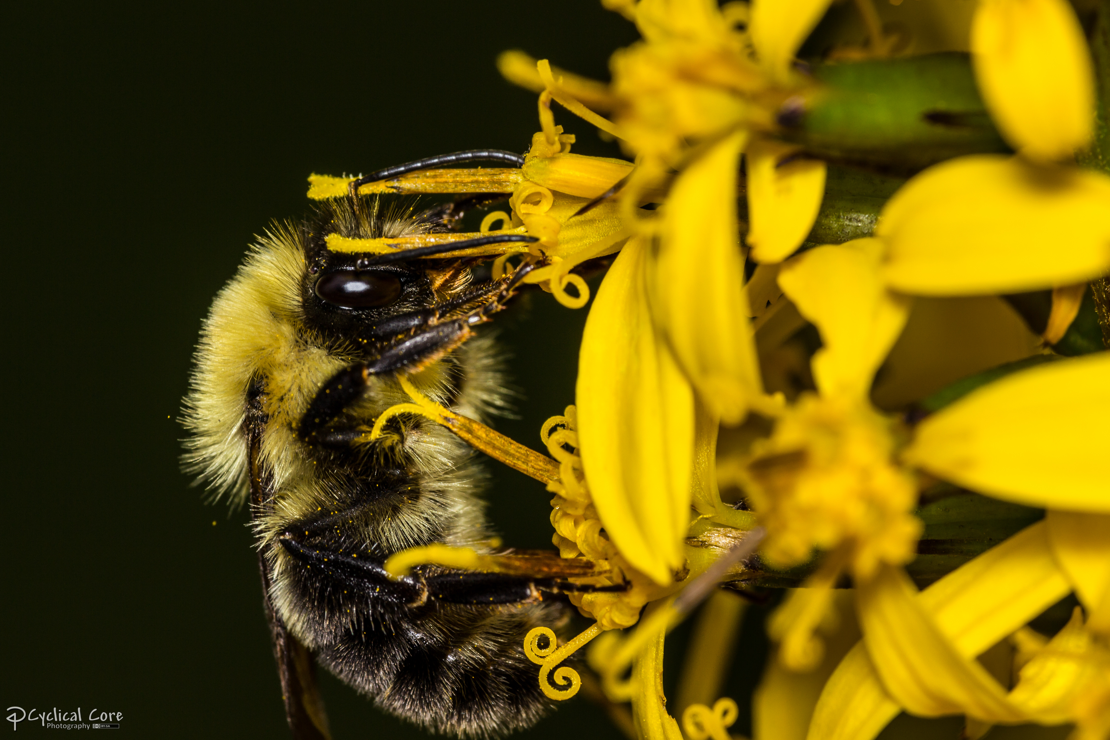 Canadian bumblebee 1 by CyclicalCore