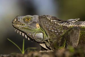 Iguana stare by CyclicalCore