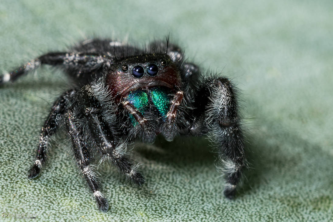 daring_jumping_spider__by_cyclicalcore_d
