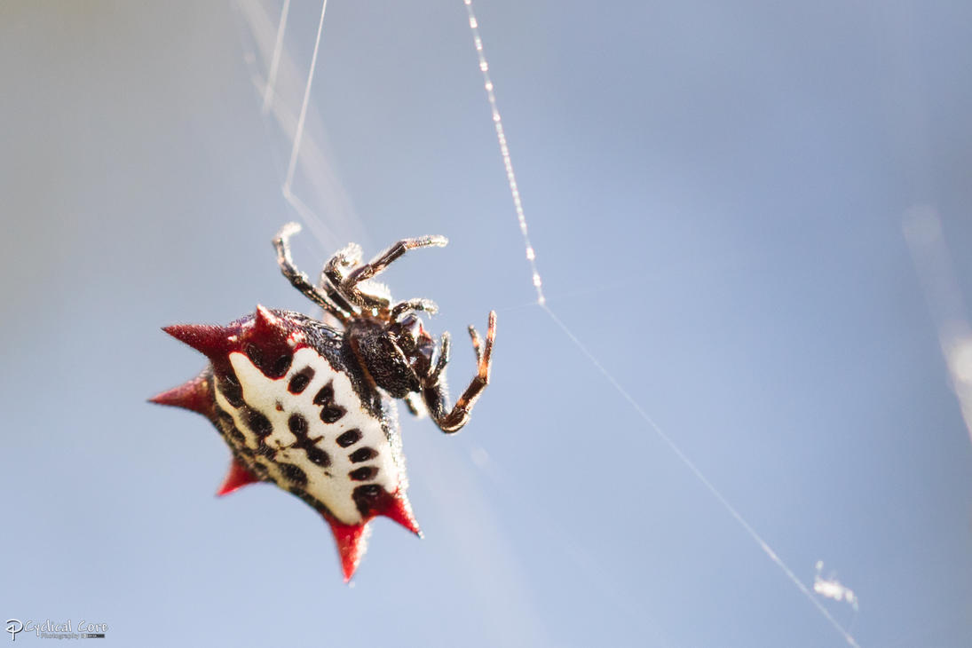 Spiny orbweaver in the light, Series: 1 of 5 by CyclicalCore