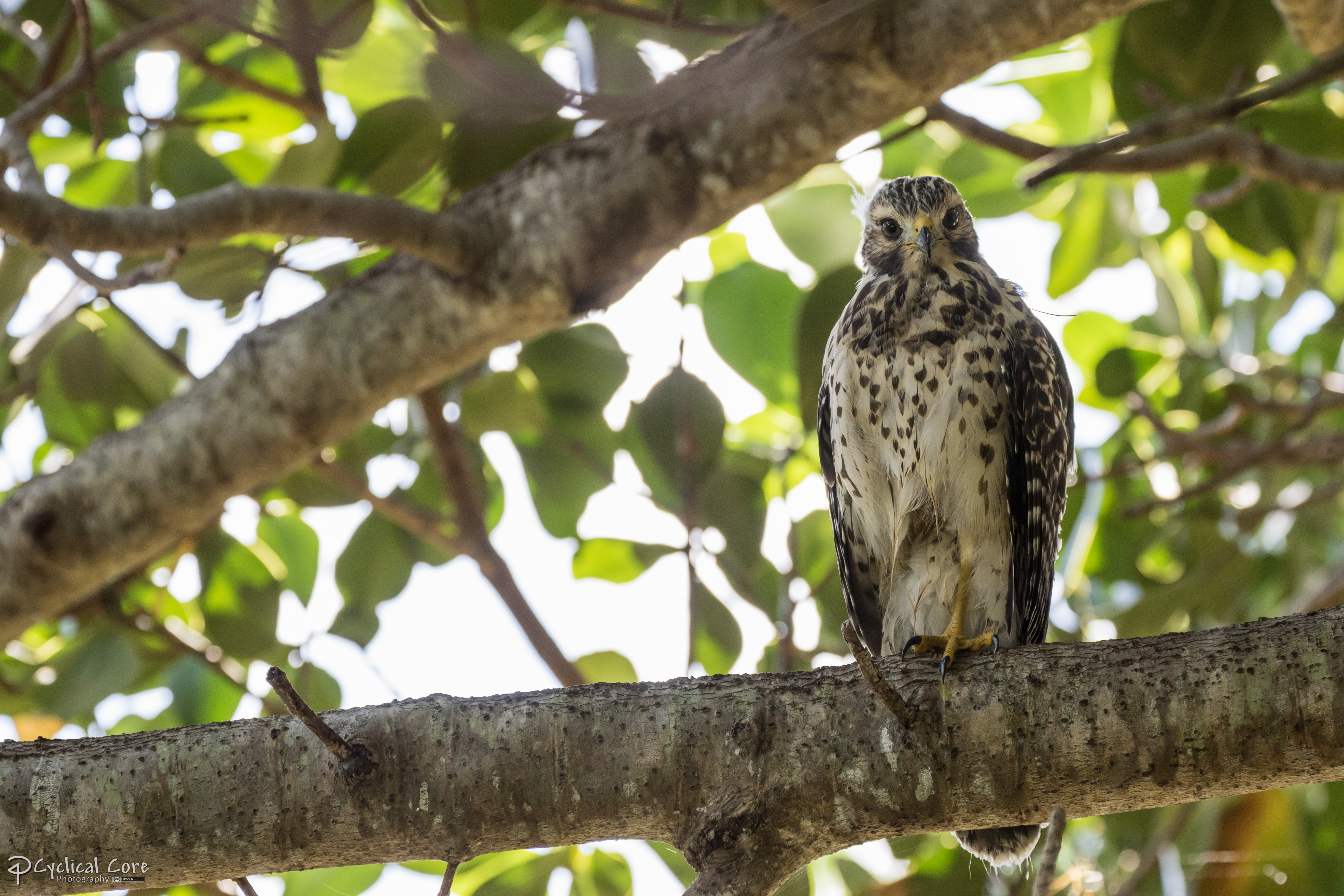 juvenile redshouldered hawk by cyclicalcore on deviantart