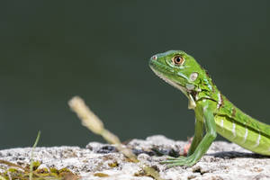 Cute young iguana profile by CyclicalCore