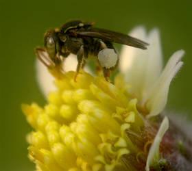 Pollen by Chente28
