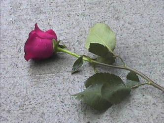 Rose by Wonderdyke-Stock