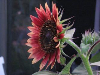 Sunflower III by Wonderdyke-Stock