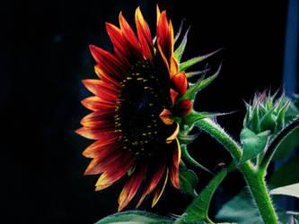 African Sunflower by Wonderdyke-Stock