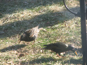 Birds on Ground