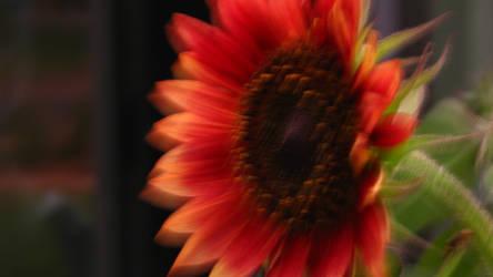 Blurry African Sunflower by Wonderdyke-Stock