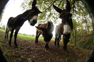 3 Donkeys by pol-b