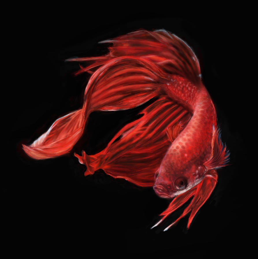 Red Siamese Fighting Fish Betta Splendens  by persikon