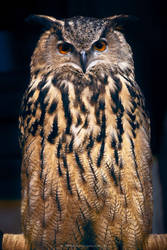 Harry Potter Owls