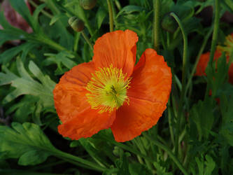 Orange Flower by maresch