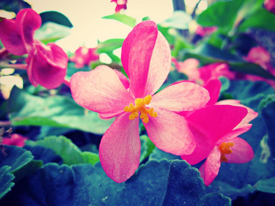 Pink flower by JackArgetlam