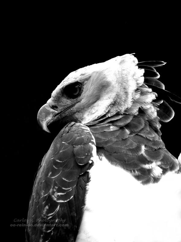 Harpy Eagle by oO-Rein-Oo