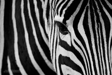 Zebra Stripes by oO-Rein-Oo