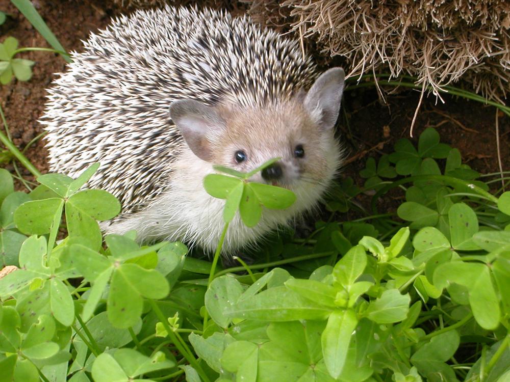 Hedgehog by NoraDevius