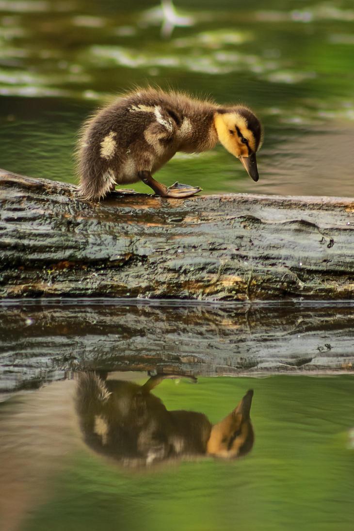 A Reflecting Duckling by FoldedWilderness