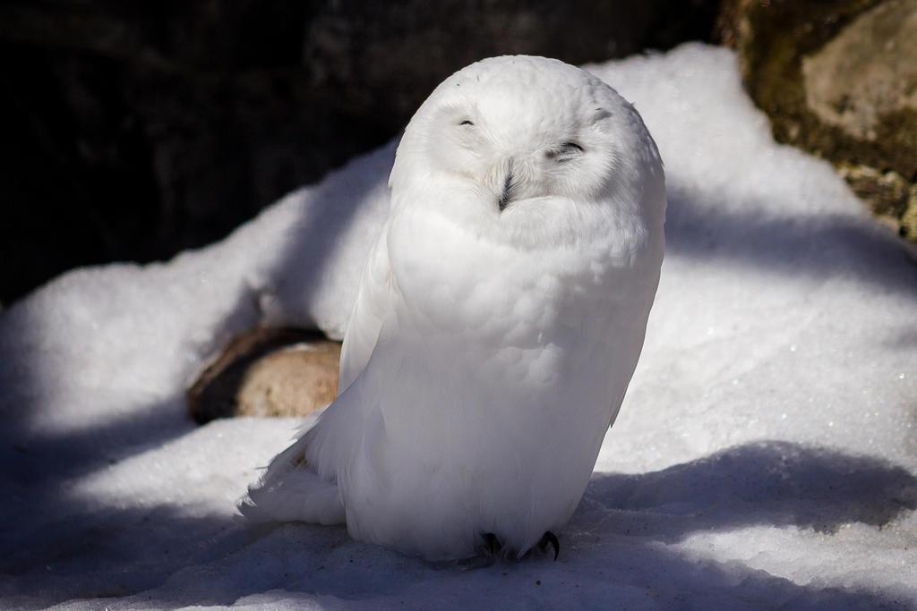 Sunny Snowy Owl by FoldedWilderness
