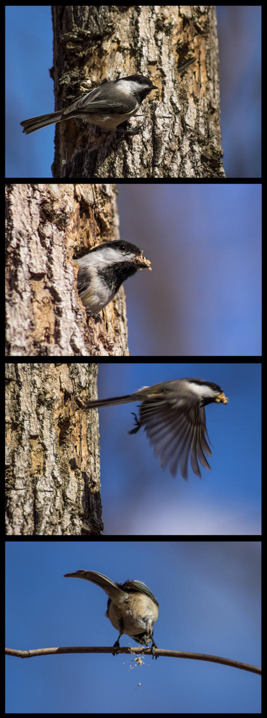 home-building Chickadees by FoldedWilderness