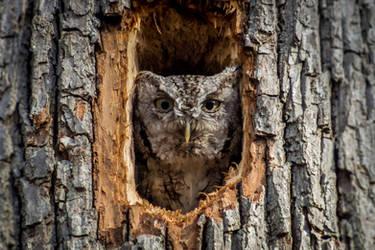 Eastern Screech-Owl by FoldedWilderness