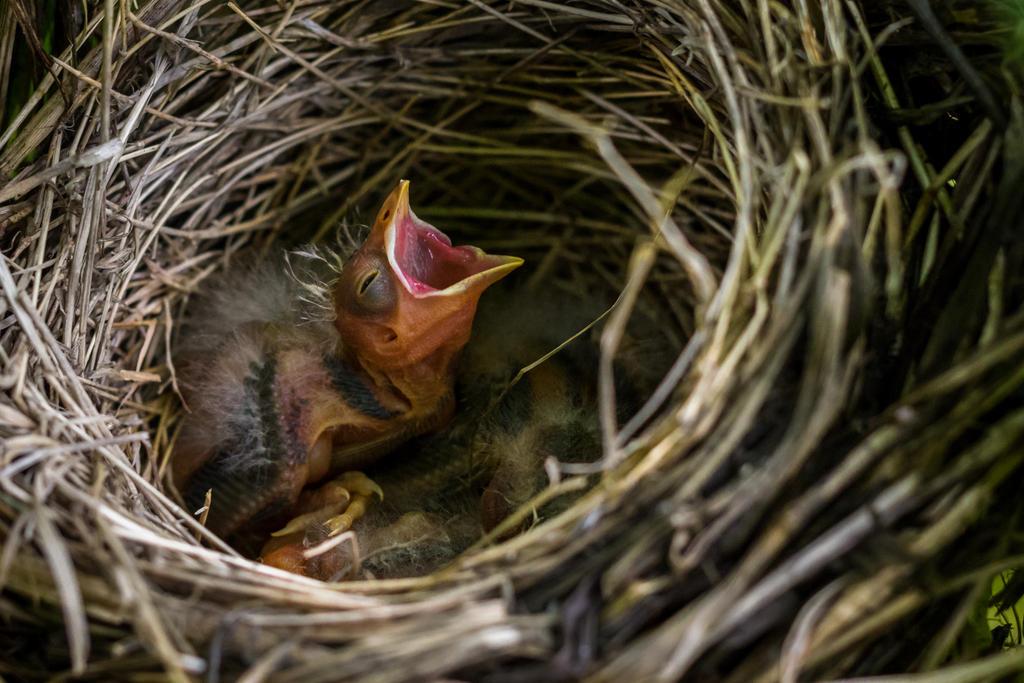 Red-Winged Blackbird nestlings by FoldedWilderness