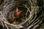 Red-Winged Blackbird nestlings