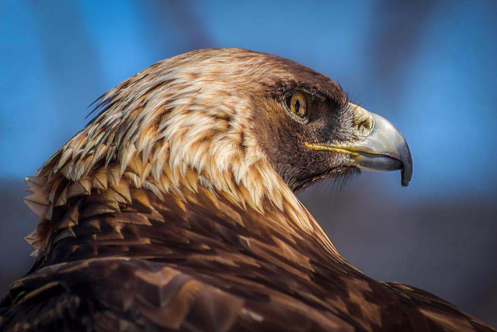 Golden Eagle by FoldedWilderness