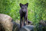 Curious Arctic Fox by FoldedWilderness