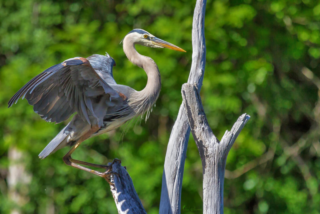 Great Blue Heron Landing by FoldedWilderness