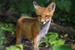 Three-Legged fox rescue