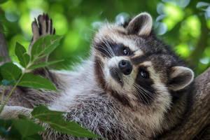 Reclining Raccoon by FoldedWilderness