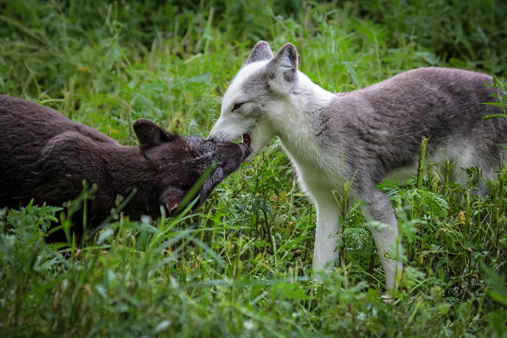 Arctic Foxes Greeting by FoldedWilderness