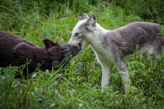 Arctic Foxes Greeting