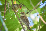 Hungry Chipping Sparrow by FoldedWilderness