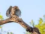 Zen Hawk, Lucky Squirrel by FoldedWilderness