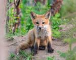 Fox Cub by FoldedWilderness