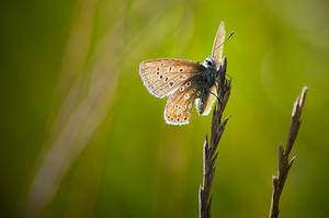 Chalk Hill Blue by LucAnthonyRossiter