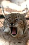 Animal Photography - Lynx
