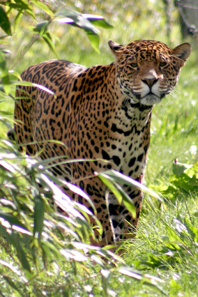 Animal Photography - Jaguar by Applinna