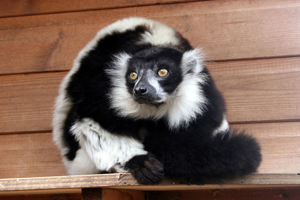 Animal Photography - Lemur by Applinna