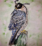 Peregrine Falcon by coopofox