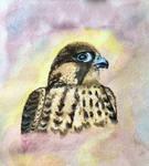 Peregrine Tiercel Falcon by coopofox