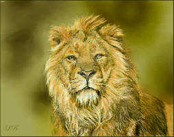 Panthera leo persica - drawing