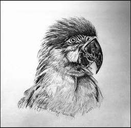 The Macaw - Pencil