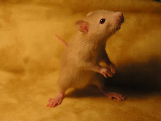 rat by flyingduster