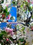 Apple-Blooms by DulceataDeCires