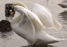 swan spreading wings..