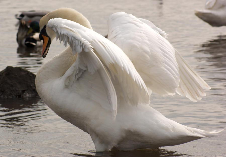 swan spreading wings.. by LubelleCreativeSpark